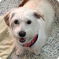 Adopt A Pet :: Shelby - Thousand Oaks, CA