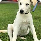 Adopt A Pet :: Sophie - ADOPTION PENDING - CONGRATS NATE!