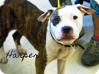 Pit Bull Terrier Mix Dog for adoption in Defiance, Ohio - Harper