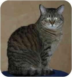 Domestic Shorthair Cat for adoption in Elmira, Ontario - Moesha