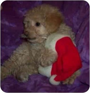 Poodle (Miniature)/Havanese Mix Puppy for adoption in McArthur, Ohio - TRINKET