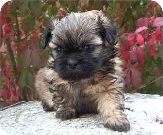 Shih Tzu Puppy for adoption in Provo, Utah - Penelope