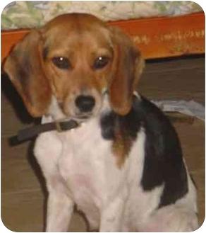 Beagle Dog for adoption in Waldorf, Maryland - Mary Margaret