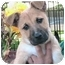 Photo 1 - German Shepherd Dog Mix Puppy for adoption in Poway, California - Sandy