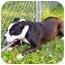 Photo 4 - American Bulldog/Staffordshire Bull Terrier Mix Dog for adoption in Mocksville, North Carolina - Coco
