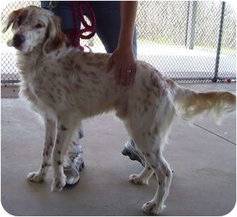 English Setter Mix Dog for adoption in Somerset, Pennsylvania - Happy