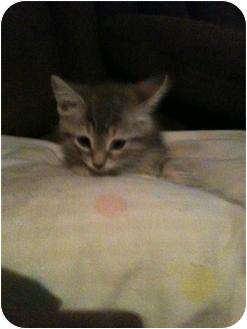 Domestic Shorthair Kitten for adoption in New Egypt, New Jersey - Fluffy Three