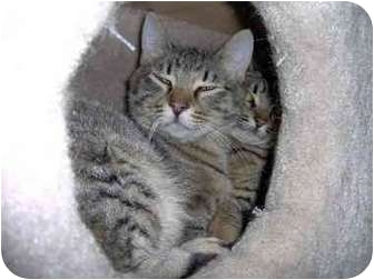 Domestic Shorthair Cat for adoption in Des Moines, Washington - Jane