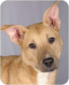 Labrador Retriever/Shepherd (Unknown Type) Mix Dog for adoption in Chicago, Illinois - Sadie