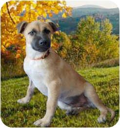 German Shepherd Dog Mix Puppy for adoption in Long Beach, California - THOMAS