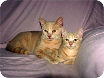 Domestic Shorthair Cat for adoption in Norwich, New York - DD - Snaggy