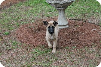 German Shepherd Dog/Great Pyrenees Mix Puppy for adoption in Albany, Georgia - Cleo