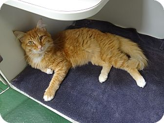 Norwegian Forest Cat Cat for adoption in Peachtree City, Georgia - Sebastian