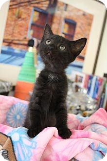 Domestic Shorthair Kitten for adoption in Chattanooga, Tennessee - Mia