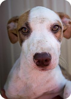 Shepherd (Unknown Type)/Pit Bull Terrier Mix Puppy for adoption in Pilot Point, Texas - WAYLON