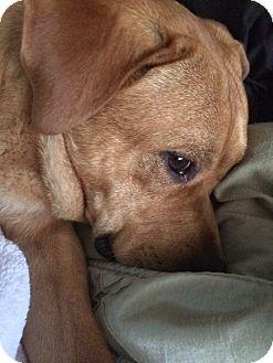 Labrador Retriever Mix Dog for adoption in Nashville, Tennessee - Buddy