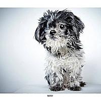 Adopt A Pet :: Buddy - New York, NY