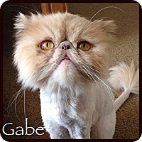 Adopt A Pet :: Gabe - Beverly Hills, CA