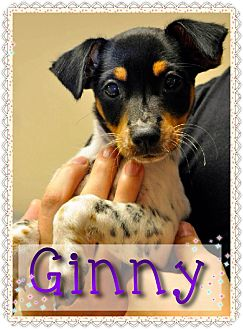 Terrier (Unknown Type, Small) Mix Puppy for adoption in Corpus Christi, Texas - Ginny