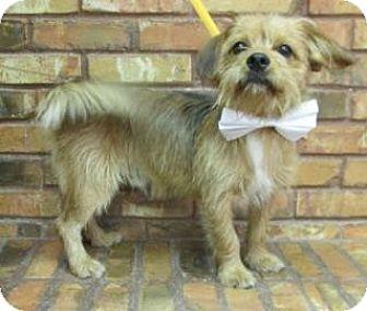 Cairn Terrier/Terrier (Unknown Type, Medium) Mix Dog for adoption in Benbrook, Texas - Raider
