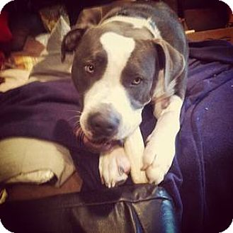 Pit Bull Terrier Mix Dog for adoption in Mansfield, Ohio - Spanky