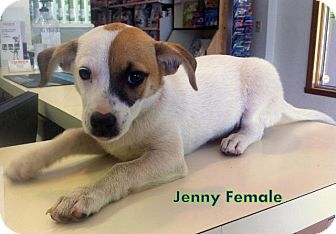 Affenpinscher/Rat Terrier Mix Dog for adoption in Danbury, Connecticut - Jenny