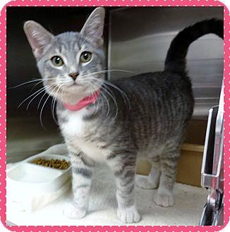 Domestic Shorthair Kitten for adoption in Marietta, Georgia - RAIN