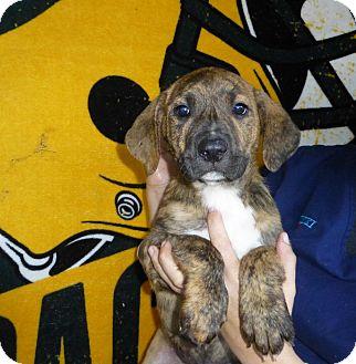 Mastiff/Plott Hound Mix Puppy for adoption in Oviedo, Florida - Rocky