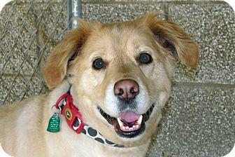 Golden Retriever/Labrador Retriever Mix Dog for adoption in Ruidoso, New Mexico - Dixie