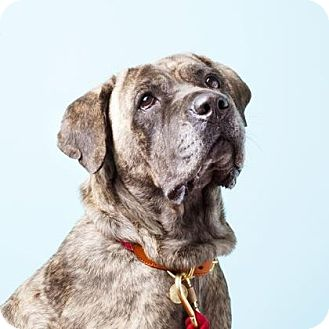 Cane Corso Mix Dog for adoption in Brooklyn, New York - Hera