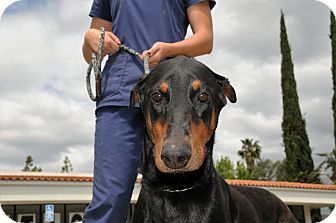 Doberman Pinscher Mix Dog for adoption in Agoura Hills, California - Priscilla