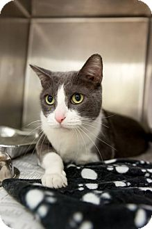Domestic Shorthair Cat for adoption in Chicago, Illinois - Pashmina