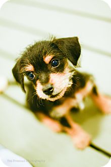 Terrier (Unknown Type, Small) Mix Dog for adoption in Muldrow, Oklahoma - Ren