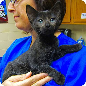 Domestic Shorthair Kitten for adoption in Smithtown, New York - Janey
