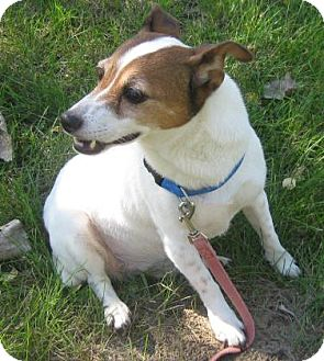 Jack Russell Terrier Mix Dog for adoption in Gary, Indiana - Tootsie