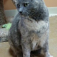Domestic Shorthair Cat for adoption in St. Louis, Missouri - Rachel