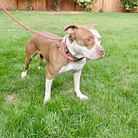 Adopt A Pet :: ABBY (Bellevue) active girl w/loving nature - Seattle, WA