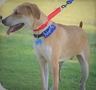 Golden Retriever/Shepherd (Unknown Type) Mix Puppy for adoption in Allentown, Pennsylvania - Mykee