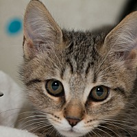 Adopt A Pet :: Belle - Fountain Hills, AZ