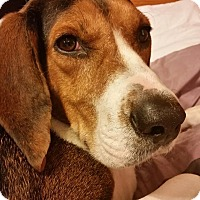 Adopt A Pet :: Maybelline - Hazel Park, MI