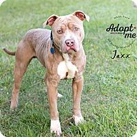 American Pit Bull Terrier Mix Dog for adoption in Houston, Texas - Jaxx