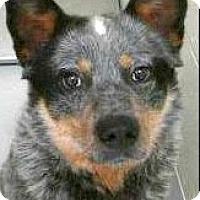 Adopt A Pet :: Rigby - Boulder, CO