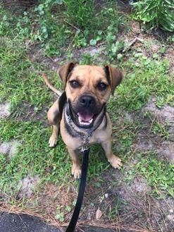 Pug/Shepherd (Unknown Type) Mix Dog for adoption in Fairfax Station, Virginia - Georgia