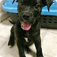 Adopt A Pet :: Duncan - Huntsville, AL