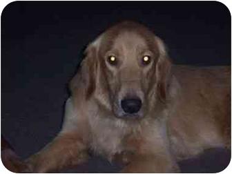 Golden Retriever Dog for adoption in Bourg, Louisiana - BEN