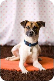 Australian Shepherd/Basenji Mix Dog for adoption in Portland, Oregon - Luke