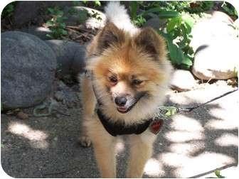 Pomeranian Dog for adoption in Hesperus, Colorado - KONA KAI