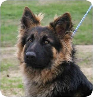 German Shepherd Dog Puppy for adoption in Nesbit, Mississippi - Kayto