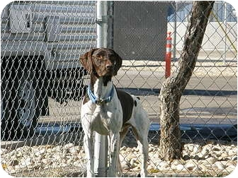 German Shorthaired Pointer Dog for adoption in Meridian, Idaho - Hans