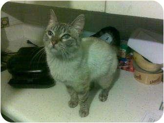 Siamese Cat for adoption in Mattydale, New York - Cinnamon